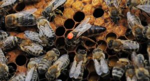 Raising Queen Bees