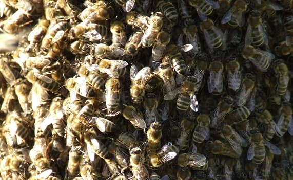 Tips on Acquiring Bees Swarms
